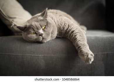 A British Short Hair cat lies on a couch with her front paw hanging out as she looks at the camera in a flat in Edinburgh, Scotland, UK.