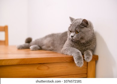 The British short hair cat lying on the table