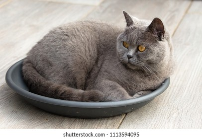 British short hair cat lying in a gray saucer for a flower pot. Its orange colored eyes look attentively at a bird to hunt. Scene in the garden, on the terrace. Cat focusses on prey.