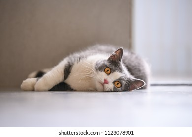 The British short hair cat lying on the ground