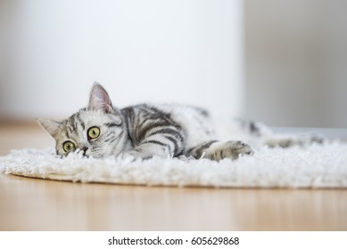 British short hair cat lying on fur rug on wooden background