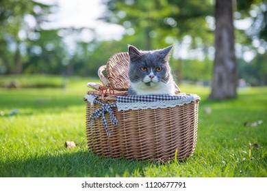 The British short hair cat on the grass