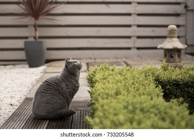 British Short Hair cat sits beside a hedge and looks up to a tree in a zen garden in Edinburgh, Scotland, UK, where a stone decorative pagoda can be seen on the background near a wooden fence.