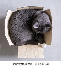 British short hair cat sleeps in carton