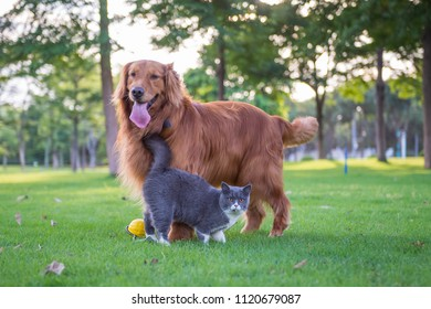 British short hair cats and dogs play in the meadow