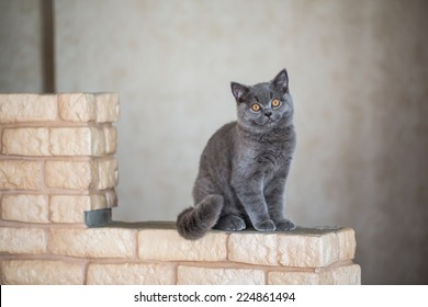 British shorthair sexual maturity months