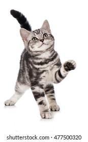 British short hair kitten isolated on white