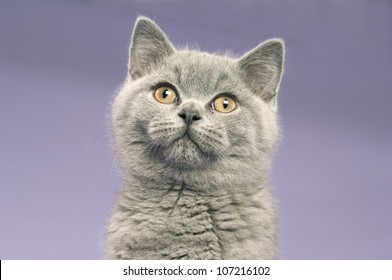 British short haired grey cat isolated on a purple background