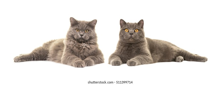 British short haired and british long haired cat both lying down facing the camera isolated on a white background