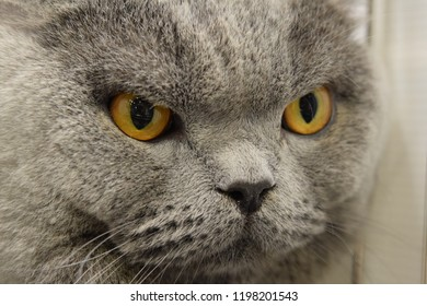 Similar Images, Stock Photos & Vectors of British Shorthair