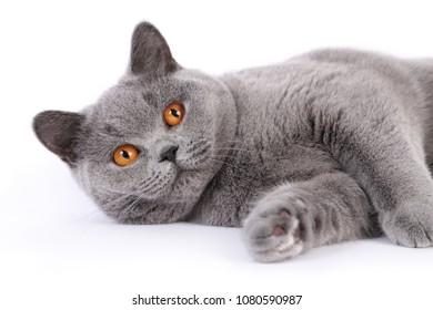 British Shorthair Blue, Brits Korthaar blauw