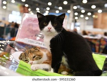 A british short-hair cat