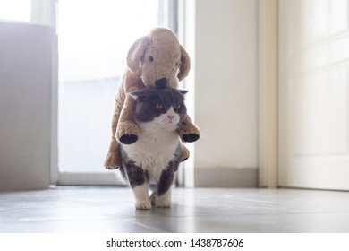 British shorthair cat carrying a plush toy puppy