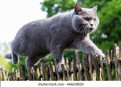 British shorthair cat climbing on garden fence, balancing very skillful on the narrow wood.