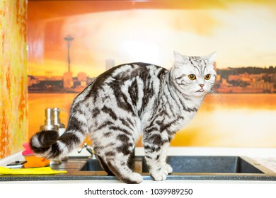 British Shorthair cat (color Blotched tabby) standing on a kitchen and licks one's lips