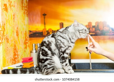 British Shorthair cat (color Blotched tabby) sitting on a kitchen and licking female finger