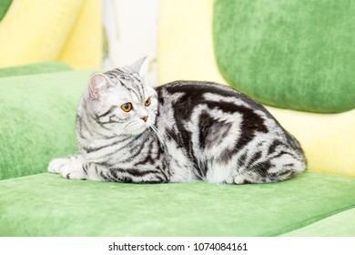 British Shorthair cat (color Blotched tabby) lies on a sofa