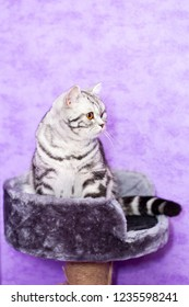 British Shorthair cat (color Blotched tabby) sitting in a house