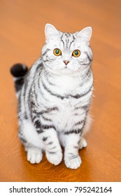 British Shorthair cat (color Blotched tabby)