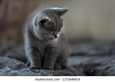 British Shorthair cat. Cute kitten portrait.