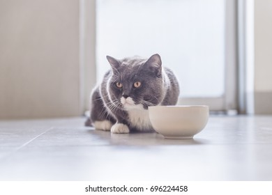 British Shorthair cat eating