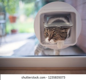 british shorthair cat entering the room by passing through a catflap in the window.