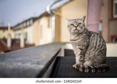 A British Shorthair cat in Frankfurt