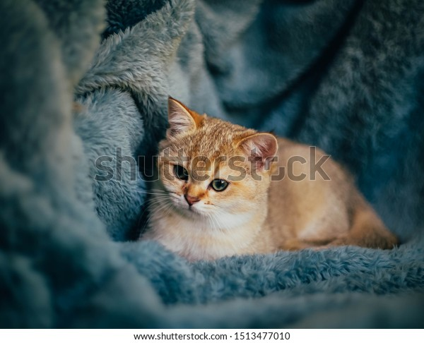British Shorthair Cat Golden Chinchilla Color Stock Photo Edit Now 1513477010