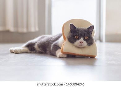 British shorthair cat hanging a piece of bread on the neck