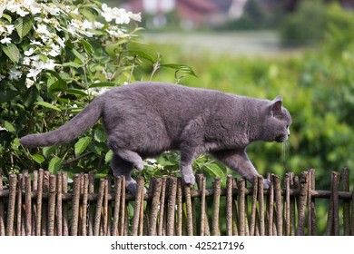 british shorthair cat hunting birds on garden fence.