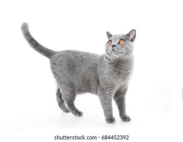 British Shorthair cat isolated on white. Standing alert. Full body