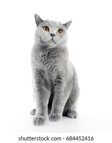 British Shorthair cat isolated on white. Sitting relaxed
