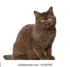 British shorthair cat, kitten, 4 months old, sitting in front of white background