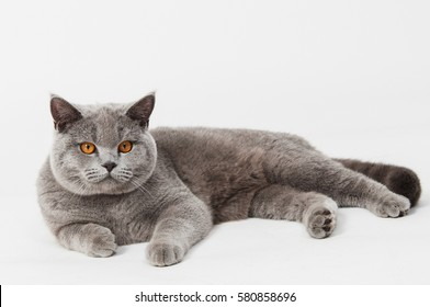 Аdult British shorthair cat lies isolated on a white background