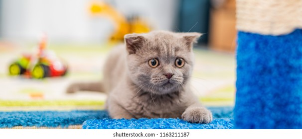 British Shorthair cat lying  . Looking at copy-space. Banner