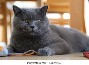 British shorthair cat lying on living room floor playing with toy mouse
