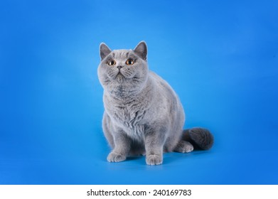 British shorthair cat on a blue background isolated