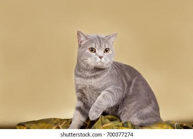 British shorthair cat on gold background