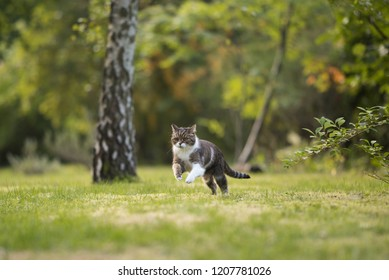 british shorthair cat playing around and running through backyard