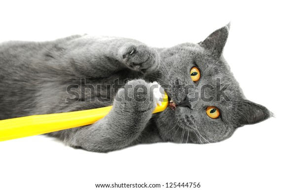 British shorthair cat playing with toothbrush, isolated on white background