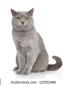 British Shorthair cat portrait on a white background