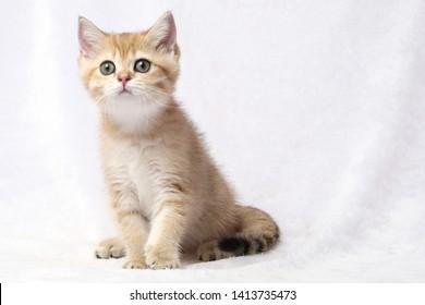The British Shorthair Cat in room