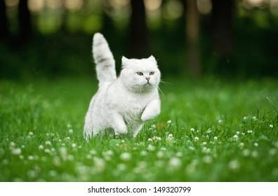 British shorthair cat running in summer