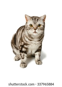 British Shorthair cat sitting. Cat confidently looking directly at you. Alertness cat. Object isolated on white background with shadow.