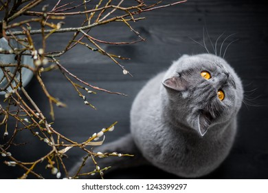 British shorthair cat sitting on black wooden table next to easter catkins. Landscape photo.