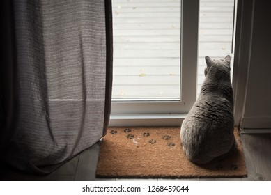British Shorthair Cat sitting on a floor mat with paw prints in front of an open patio door with a curtain in a house in Edinburgh City, Scotland, UK