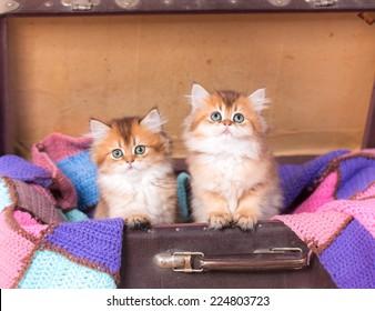 British shorthair cat studio photo