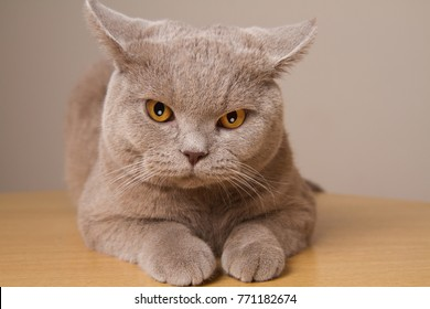 British shorthair cat unhappy closeup, looking directly at the camera its ears in different directions. Angry cat is located closely to the lens front paws
