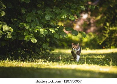 british shorthair cat walking in sunny garden surrounded by plants