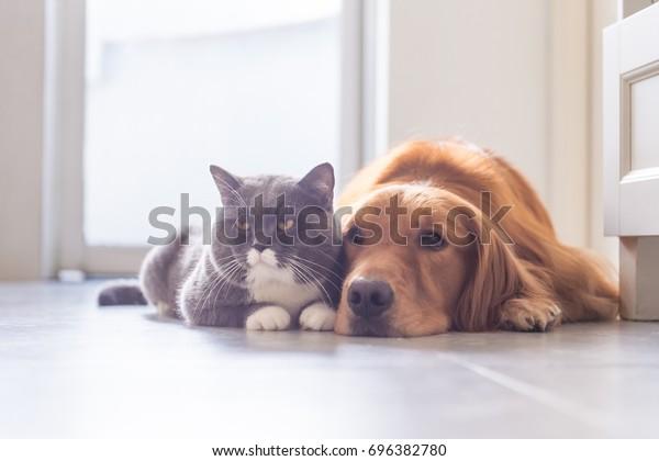 イギリスの短毛猫とゴールデン・レトリーバー